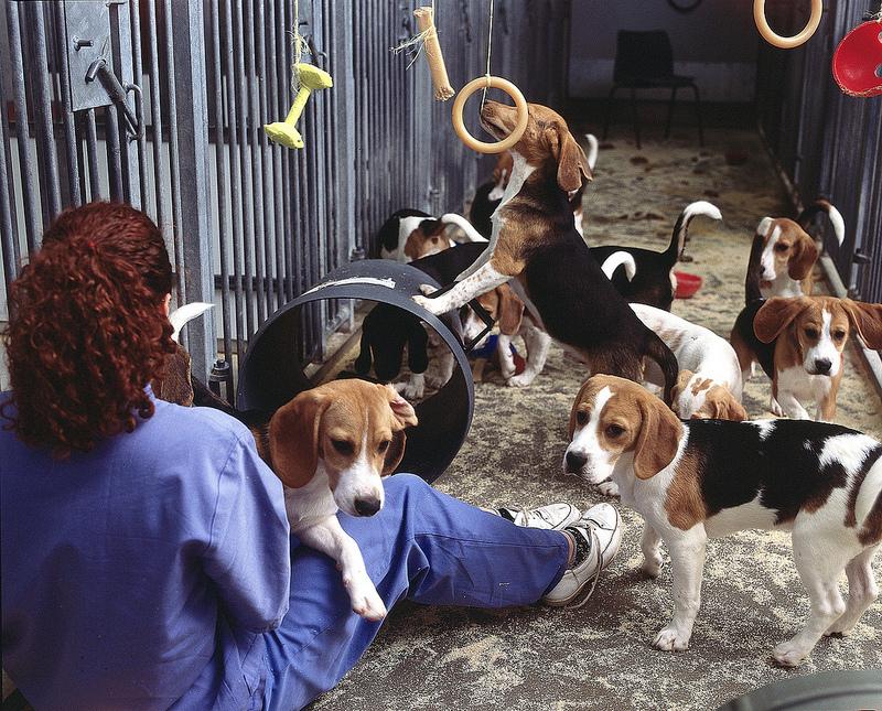 Beatles usados para pesquisa laboratorial; no Brasil, o caso do instituto Royal ganhou notoriedade no ano passado, quando cachorros da raça foram libertados por ativistas (Flickr/understandinganimalresearch.org.uk/Creative Commons)