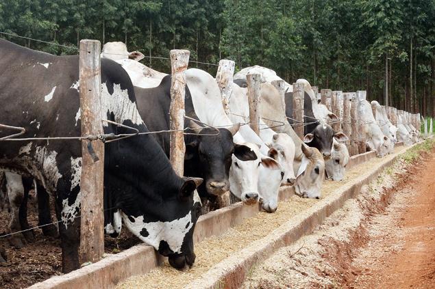 Gado bovino alimentado com milho em fazenda de Ipameri (GO); no Brasil, a maior parte dos desmatamentos da Amazônia é relacionada à pecuária, segundo relatório da ONU