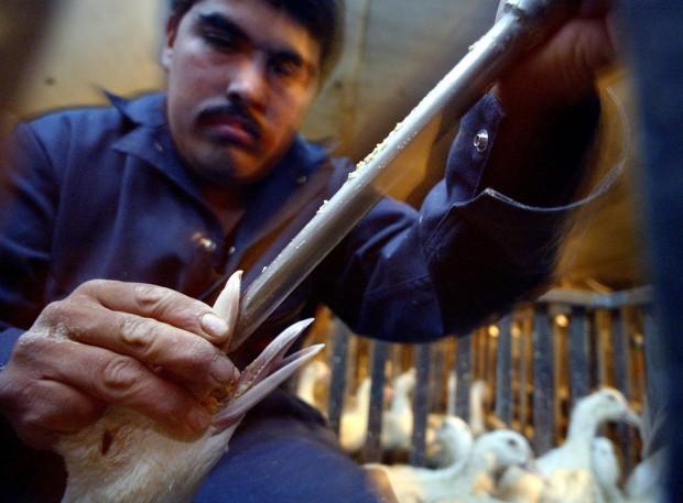 Ganso alimentado à força para a produção do foie gras em Farmington, Califórnia  (Peter DaSilva/The New York Times)