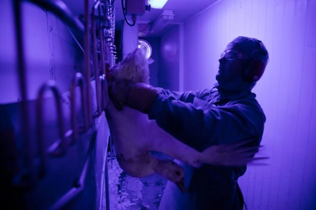 Animal é manuseado antes de seu abate para a retirada do fígado em frigorífigo do município catarinense de Indaial (Carlos Cecconello - 3.nov.11/Folhapress)