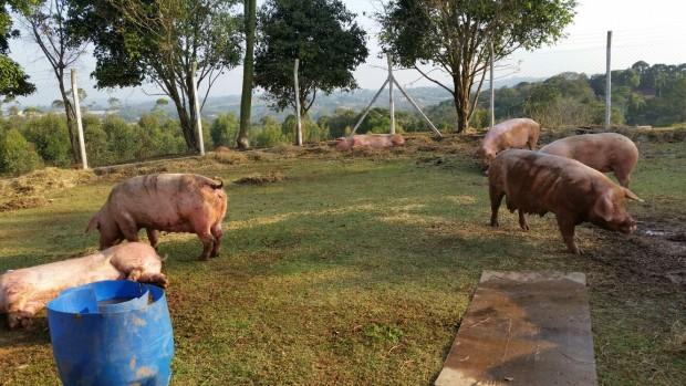 Porcas já no santuário, em São Roque (SP) Porcas durante a operação de resgate (Foto: Faos/SP)