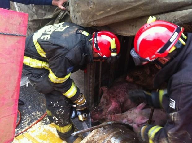 Porcas durante a operação de resgate (Foto: Faos/SP)