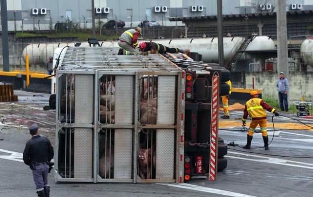 Carreta tombada com as porcas no rodoanel, em São Paulo, antes do resgate dos animais (Marcos Bezerra/Futura Press/Folhapress)