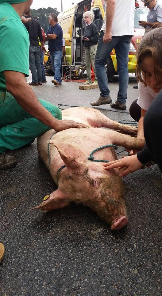 Porca durante a operação de resgate (Foto: Faos/SP)