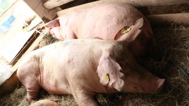 Porcas durante recuperação no santuário (Foto: Ganesh Filmes)